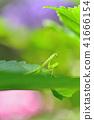 螳螂孩子的孩子 41666154