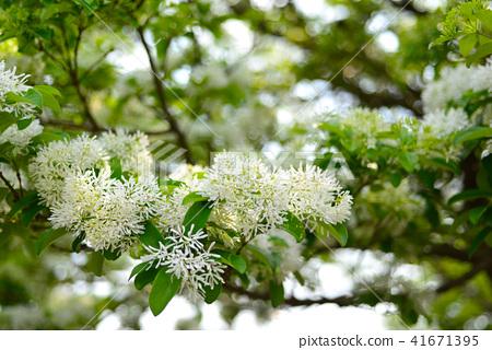 white Fringe flower under the sunlight 41671395