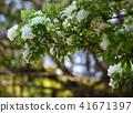 white Fringe flower under the sunlight 41671397
