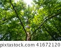 ป่า Metasequoia 41672120