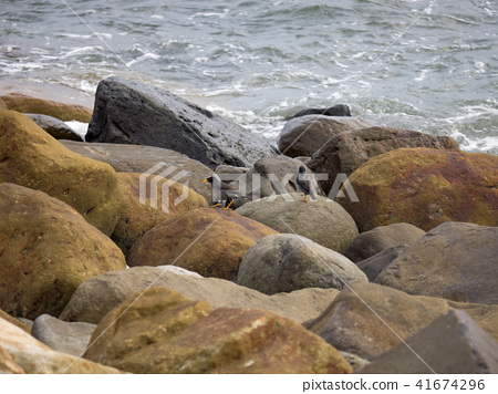 八哥在海邊 41674296