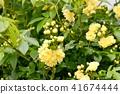 黃色嘲笑開花在三鷹中原 41674444