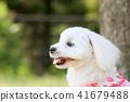 말티즈, 개, 강아지 41679488