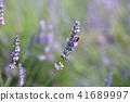 꽃, 플라워, 라벤더 41689997