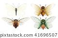 ภาพประกอบ,แมลง,จักจั่น 41696507