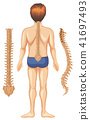 Human Anatomy of Spine on White Background 41697493