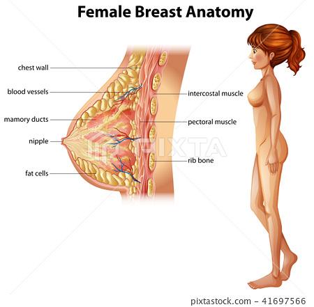 human anatomy of female breast stock illustration 41697566 pixta rh pixtastock com