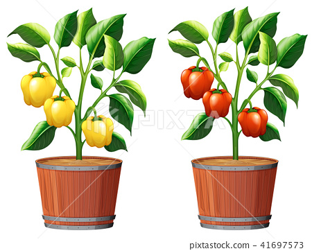 Yellow and Red Bell Pepper Plant 41697573