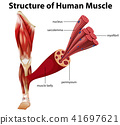 A Structure of Human Muscle 41697621