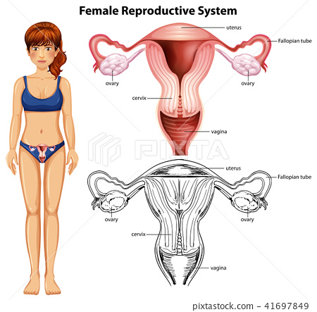 Female Reproductive System on White Background 41697849