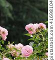 Rose of pink 41698104