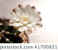 선인장, 꽃, 화초 41700831