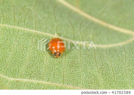 生活在6月的Ishigakijima Inndct Dendai Tentou。在雨林里,通心粉的叶子里有几个头 41702389