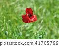 Red Poppy Flower 41705799