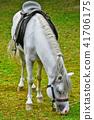 Saddled White Horse 41706175