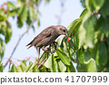 Starling eats ripe cherries 41707999