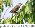 starling, bird, cherry 41708000