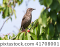 Starling in a cherry tree 41708001