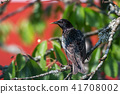 Watchful Starling on a branch 41708002