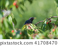 Starling hides in a cherry tree 41708470