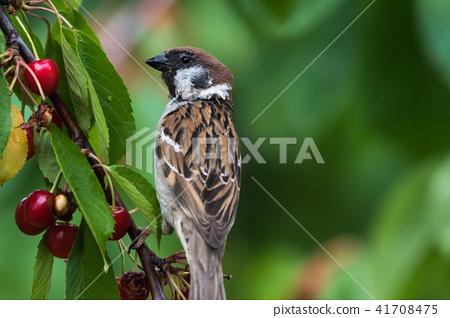 Tree Sparrow closeup in a cherry tree 41708475