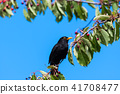 Blackbird in a cherry tree 41708477