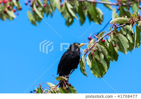 Blackbird in a cherry tree 41708477
