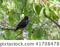 bird, cherry, branch 41708478