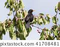 Blackbird picking cherries 41708481