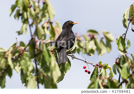 Blackbird picking cherries 41708481