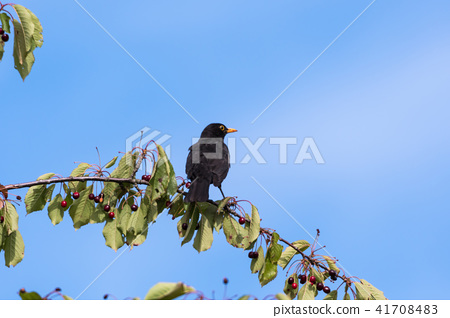 Blackbird on a cherry branch 41708483
