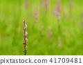 꽃, 플라워, 핑크 41709481