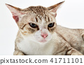American Short hair cat lying 41711101