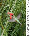 hummingbird, bird, birds 41717655