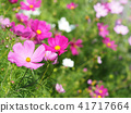 cosmos, cosmea, bloom 41717664