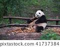 Giant panda eating bamboo - Chengdu 41737384