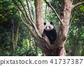 Giant Panda sitting in a tree -  Chengdu 41737387