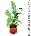 Dieffenbachia tropical flowering plant flower pot 41747471
