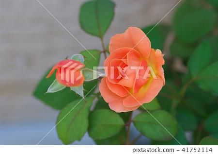 橙色的玫瑰 41752114