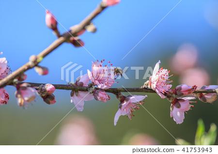 桃花,桃樹,花卉 41753943