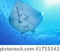 魟魚 黃貂魚 光線 41755542
