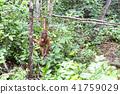 野生兒童orang utan 41759029