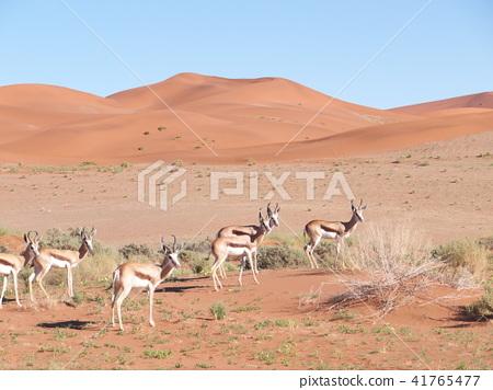 A group of Spring Bocks in the Namib Desert 41765477