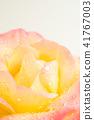 꽃, 플라워, 장미 41767003