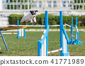 Jack russell terrier jumping out from seesaw 41771989