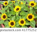 ทานตะวัน,ดอกไม้,ฤดูร้อน 41775252