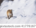 fox, ezo red fox, snow 41776167