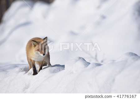 狐狸 虾夷红狐狸 雪 41776167