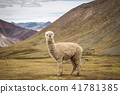 A lonely llama is standing on the plateau 41781385