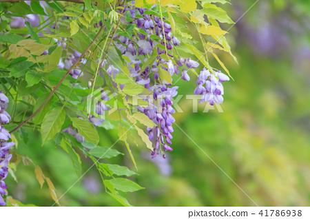 紫藤,花,紫藤花 41786938